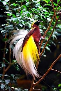 Cendrawasih bird, Bali