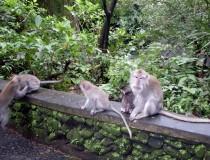 Monkeys in Sangeh, Bali