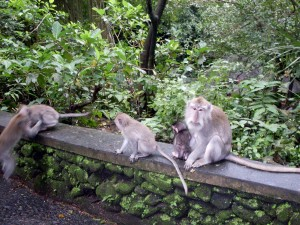 Monkeys in Sangeh, Bali